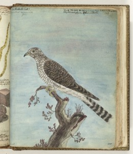 painting of a Dutch cuckoo